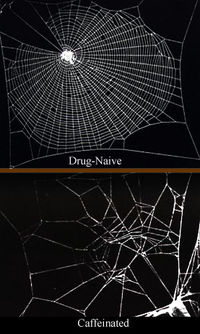 Caffeine has a significant effect on spiders, which is reflected in their web construction