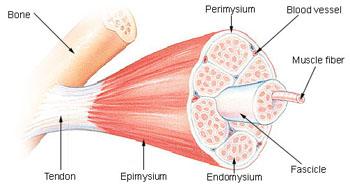 muscle_fiber_structure.jpg